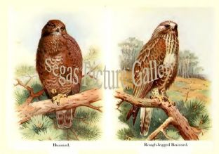 Buzzard & Rough-legged Buzzard